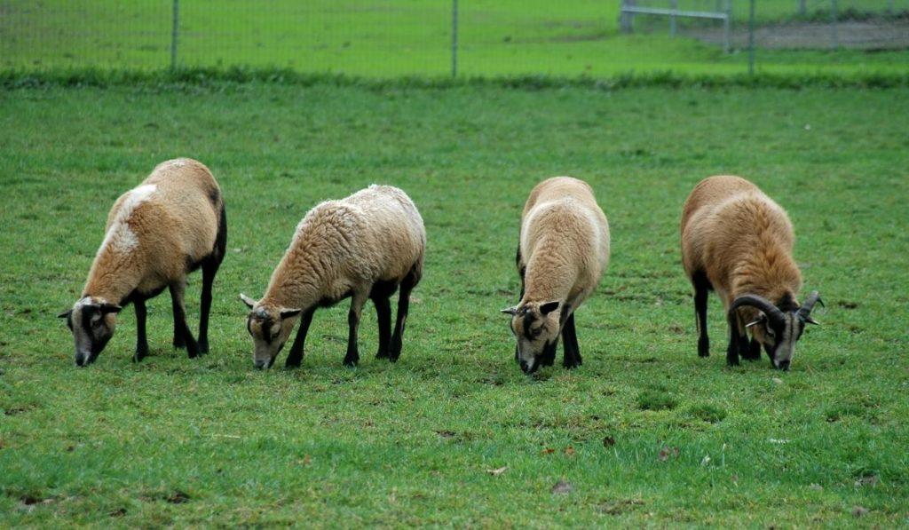 California Red Sheep