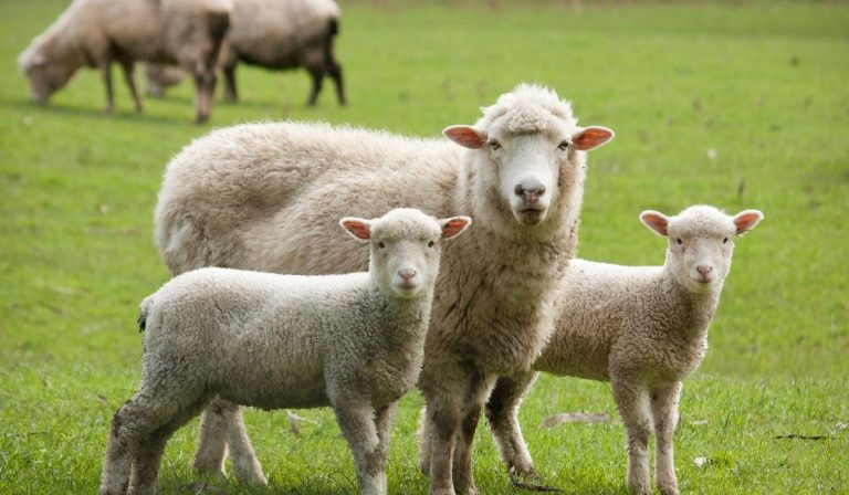 10 Best Sheep Breeds For Beginners