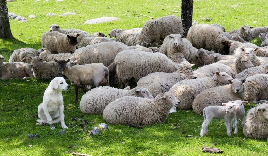 Akbash with the flock of sheep