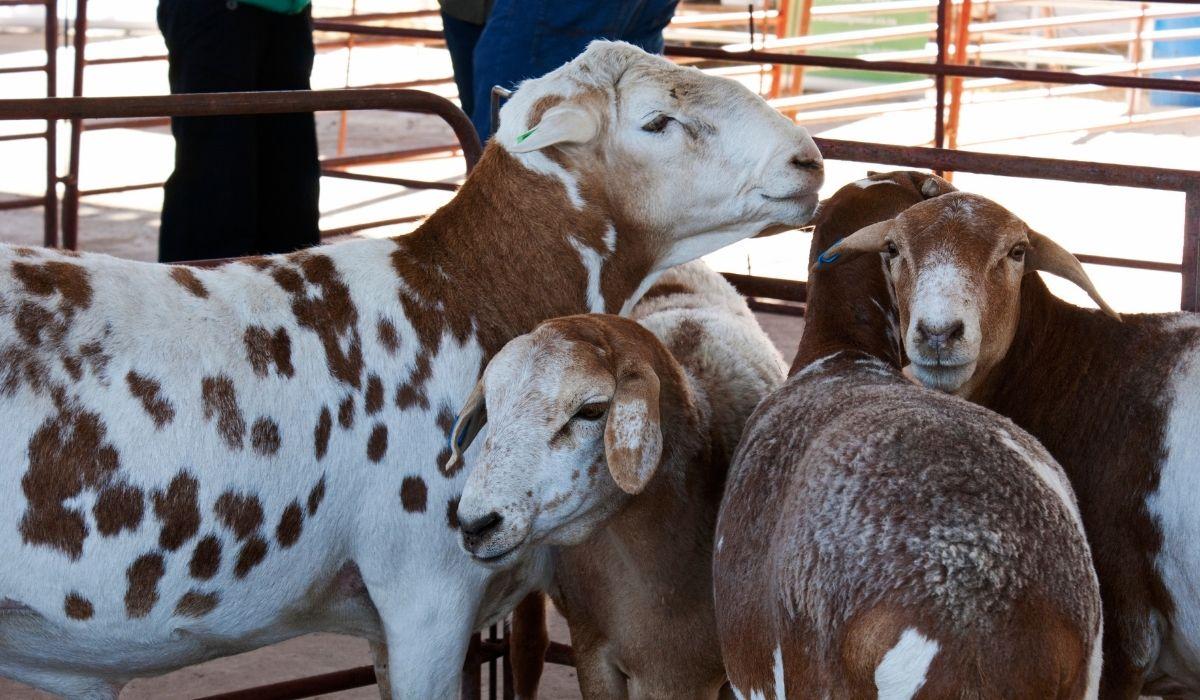 Damara-Sheep