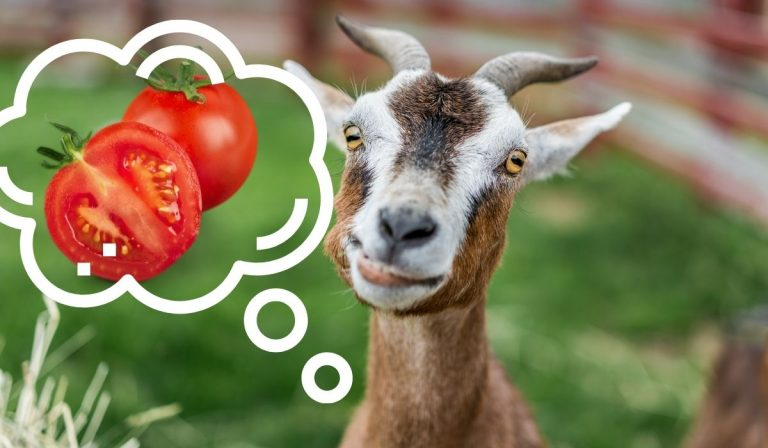Can Goats Eat Tomatoes?