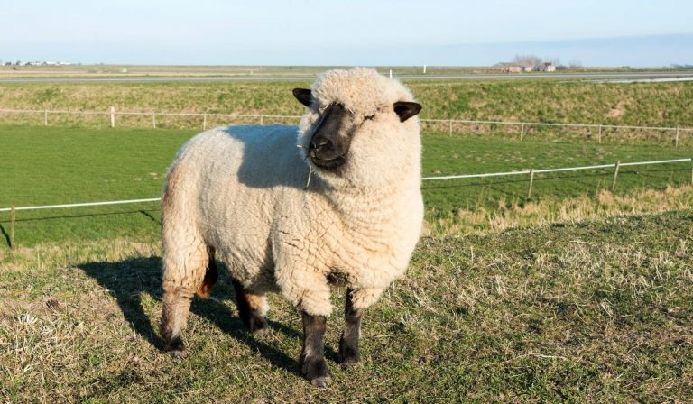 Black And White Sheep Breeds