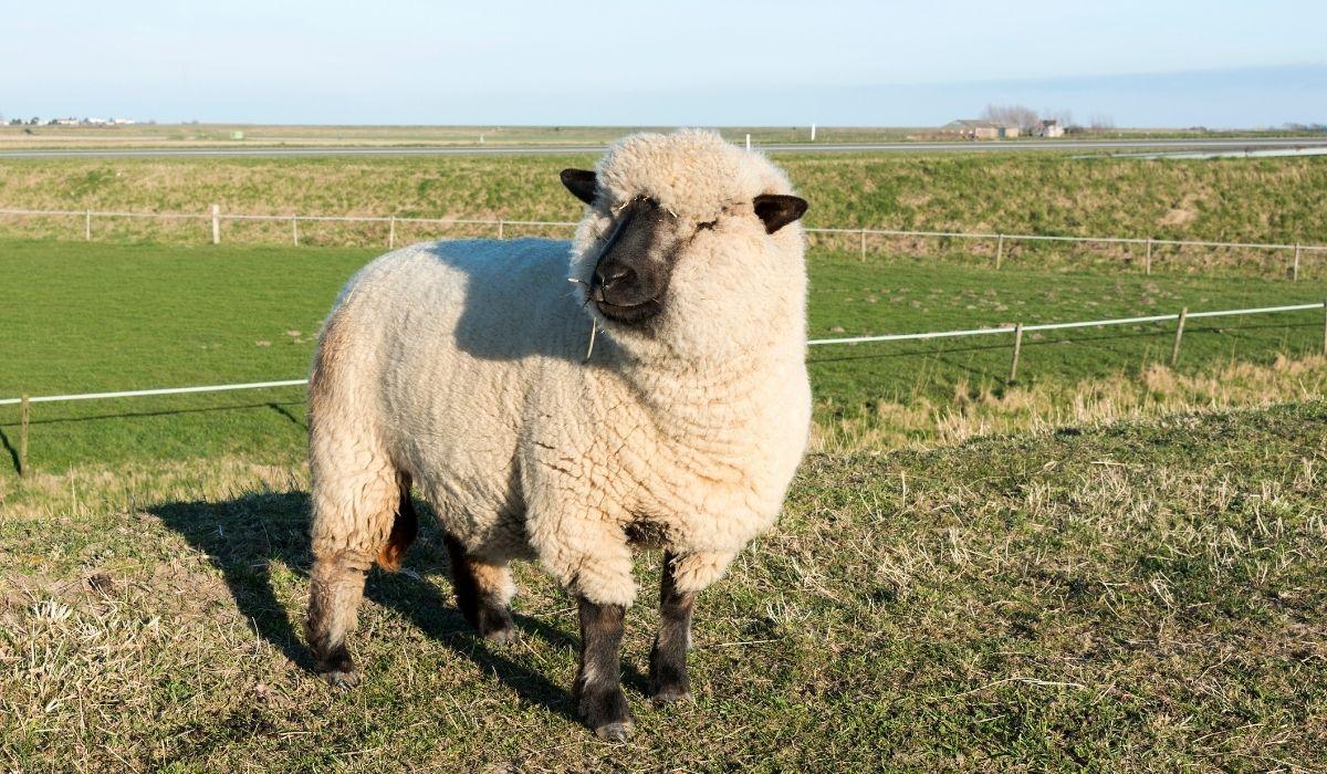 Hampshire-Sheep-1