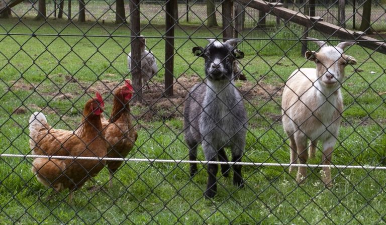 13 Best Animals for Homesteading