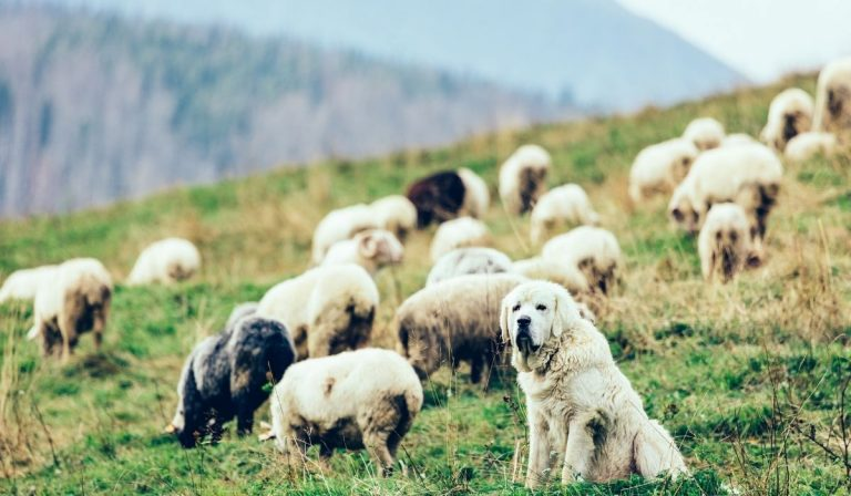 Dog Breeds that Protect Sheep