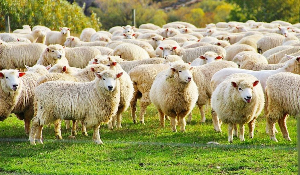 a herd of sheep on green pasture