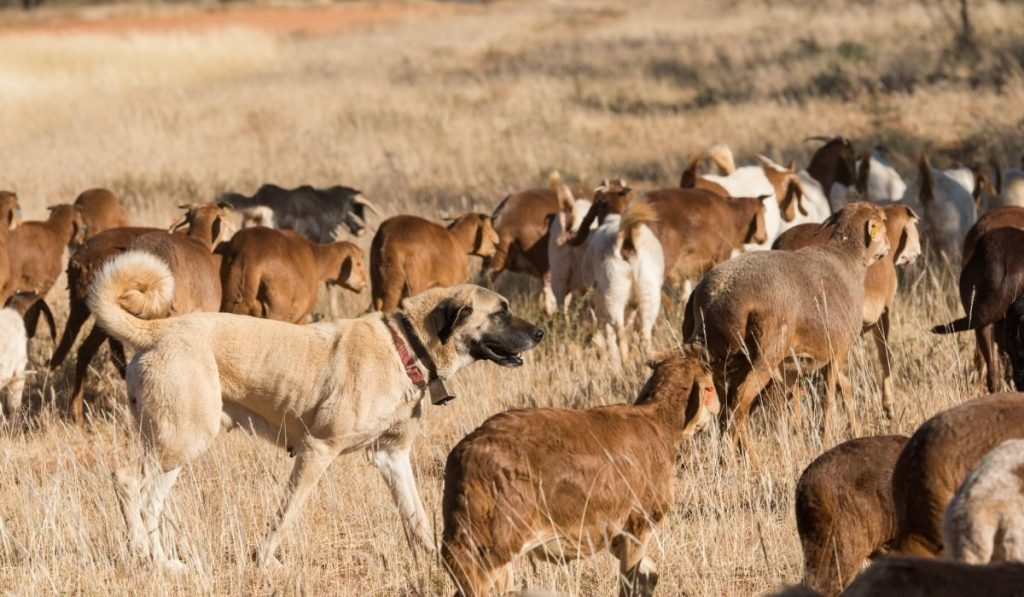 a livestock guard dog roaming in between the flock of sheep