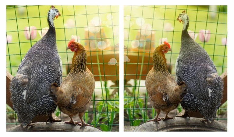 Can Chickens and Guinea Fowl Be Kept Together?