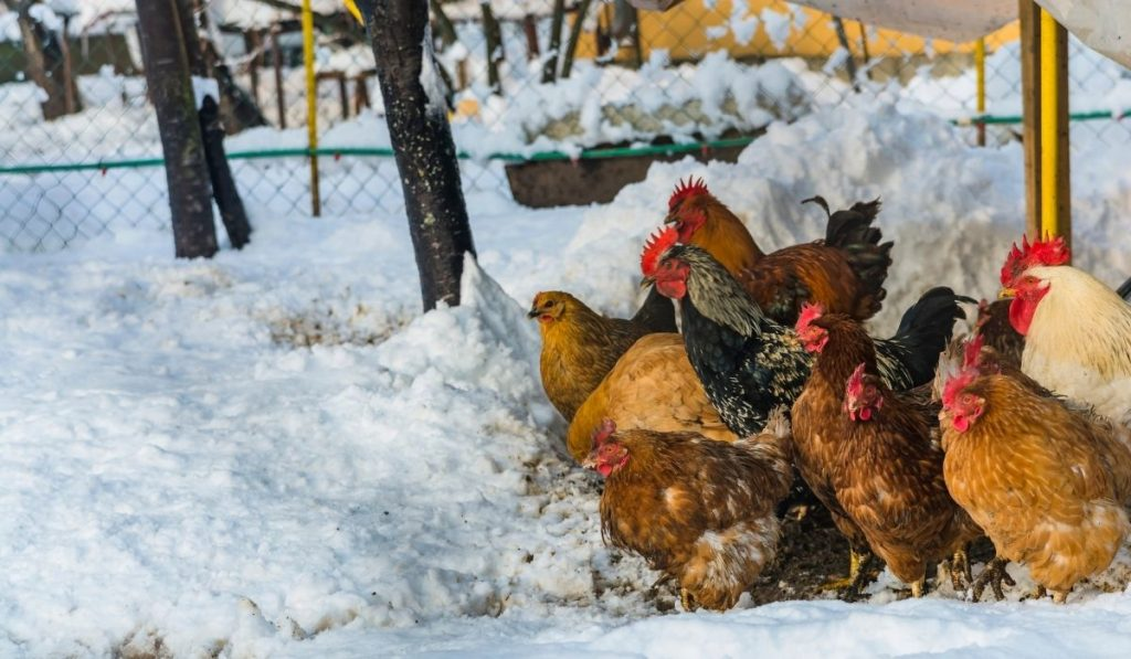 chickens huddling in the snow