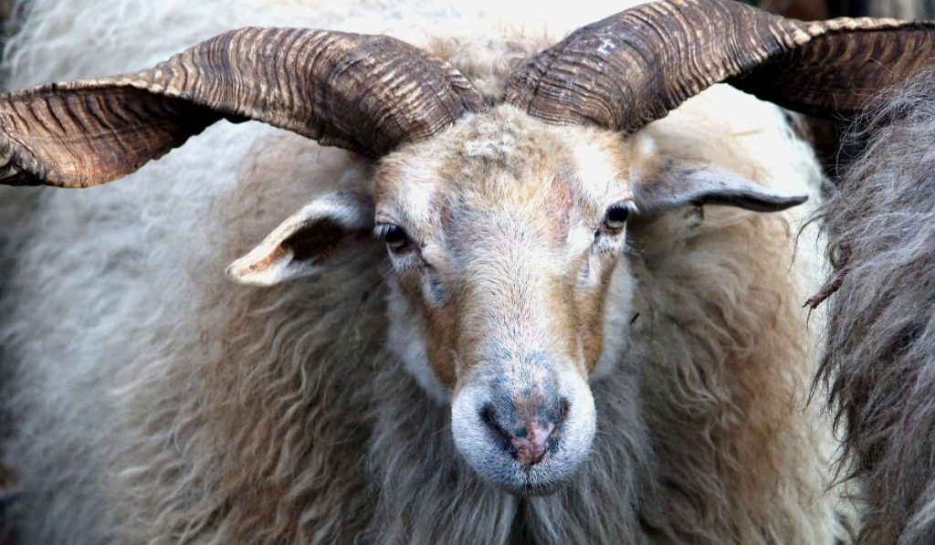 close up of a wild sheep