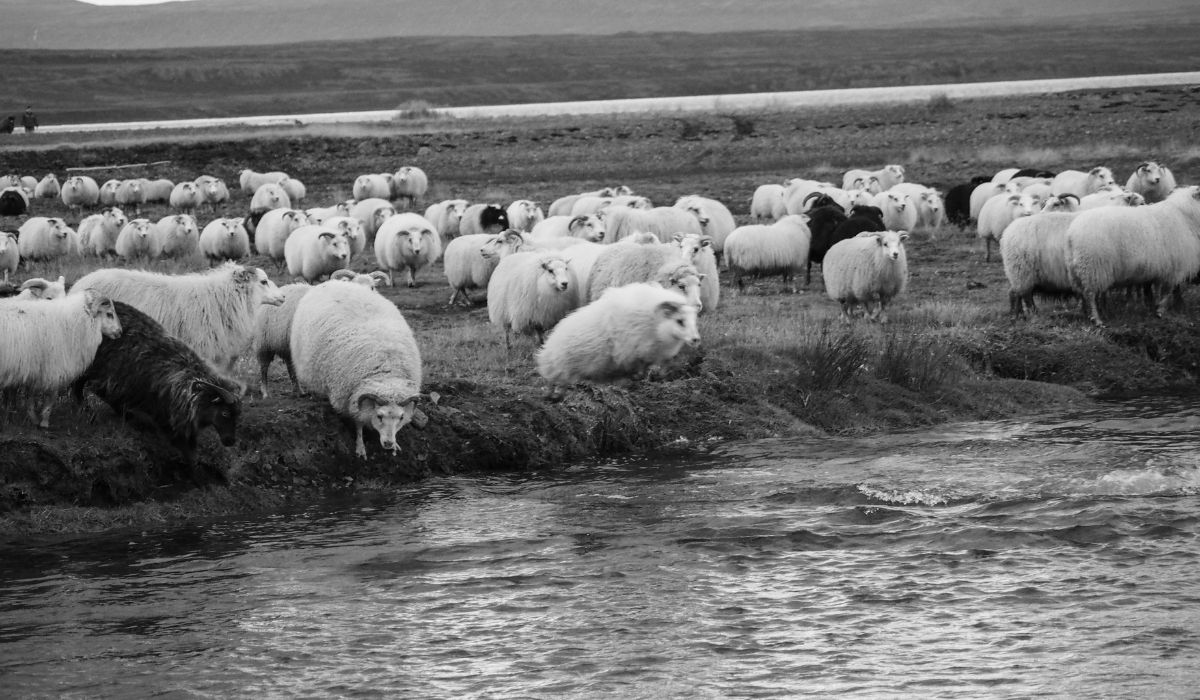flock of sheep at the side of the lake