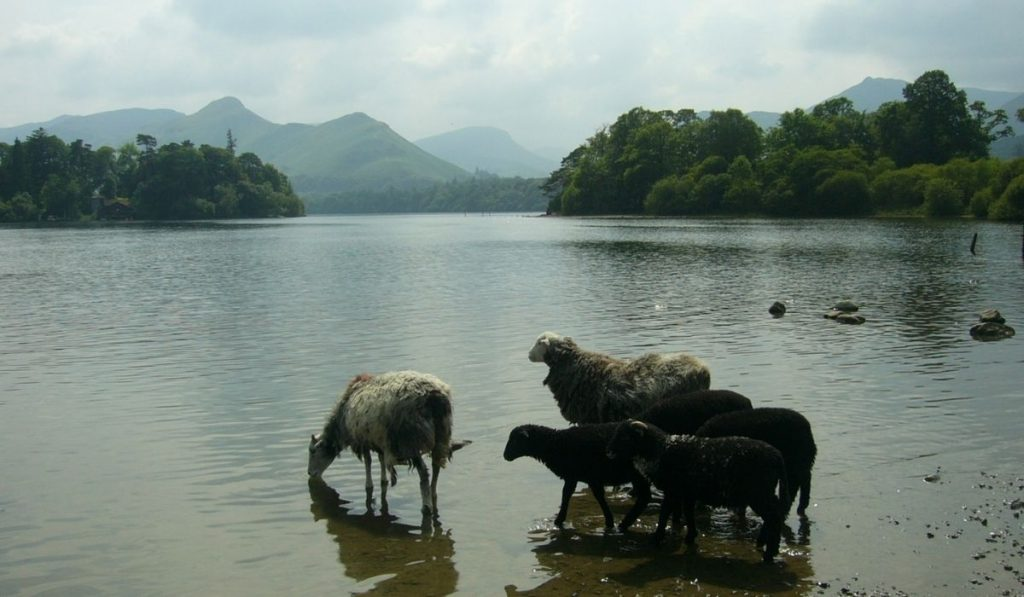 flock of sheep in the lake