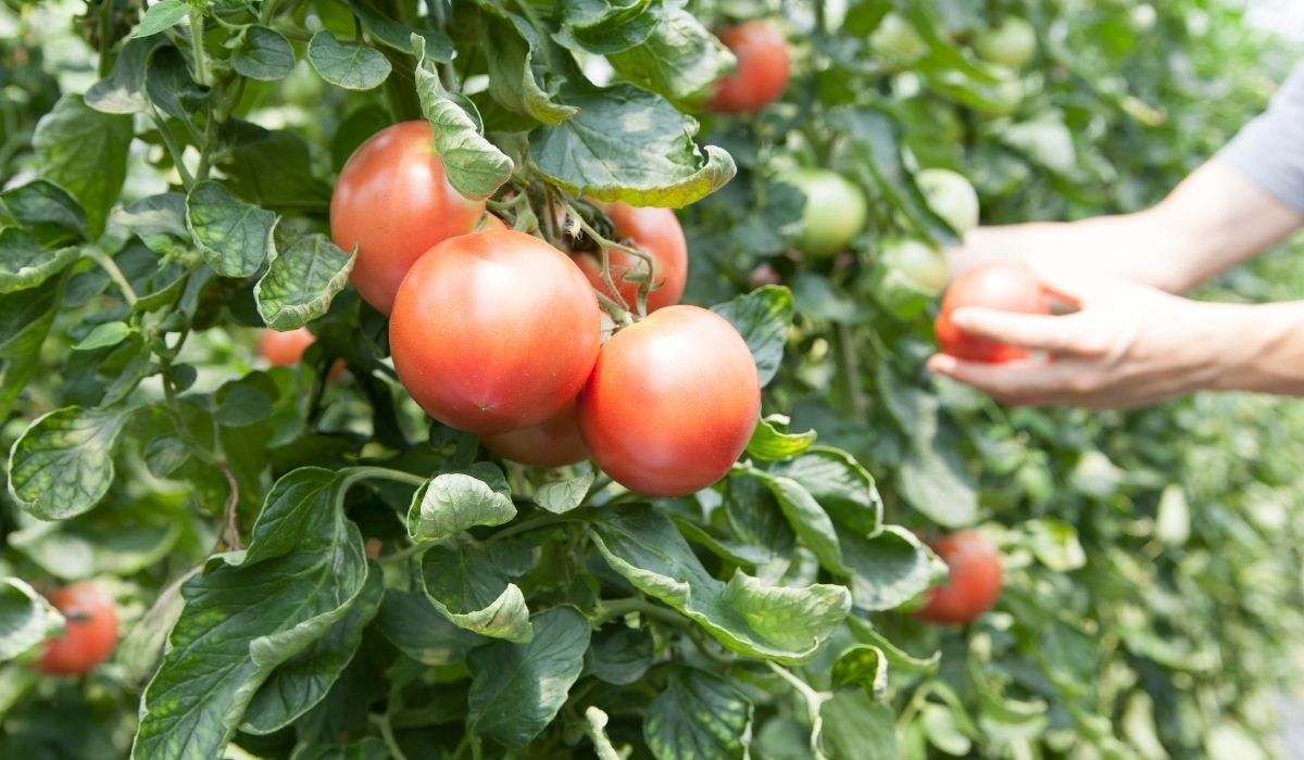 man picking some ripe and big tomatoes