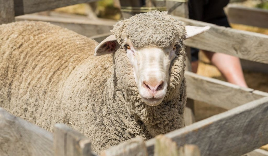 merino sheep in a wooden fence