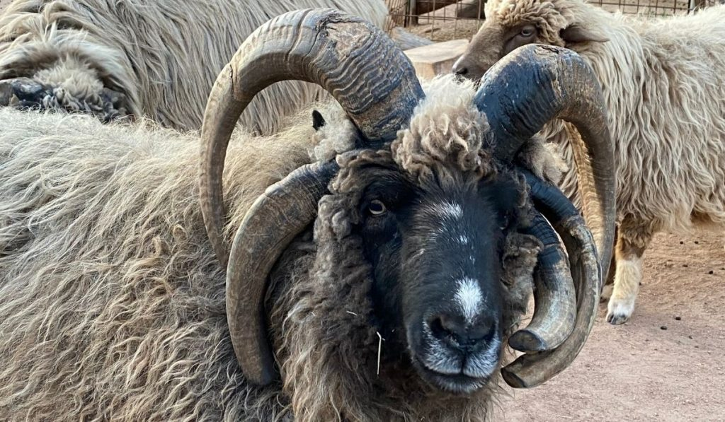 navajo-churro sheep with four horns