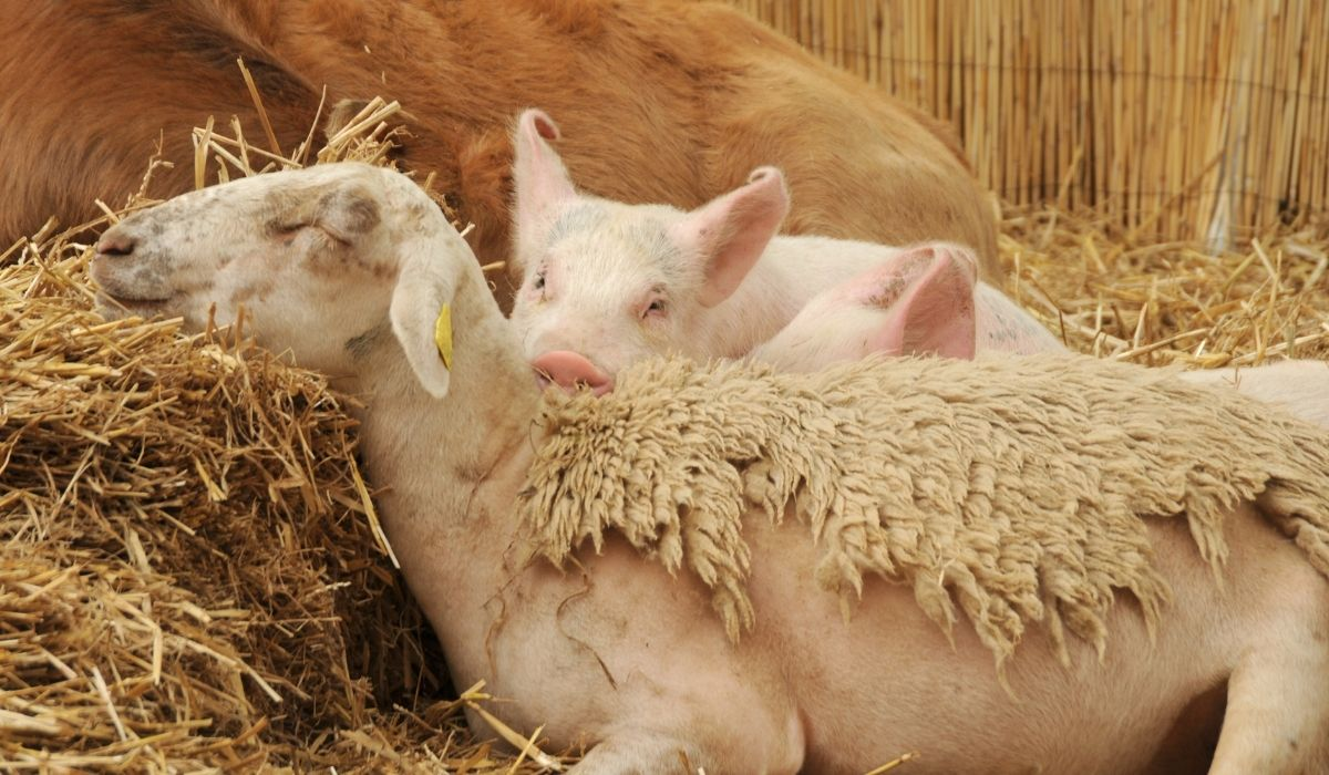 sleeping sheep with two snuggling piglets