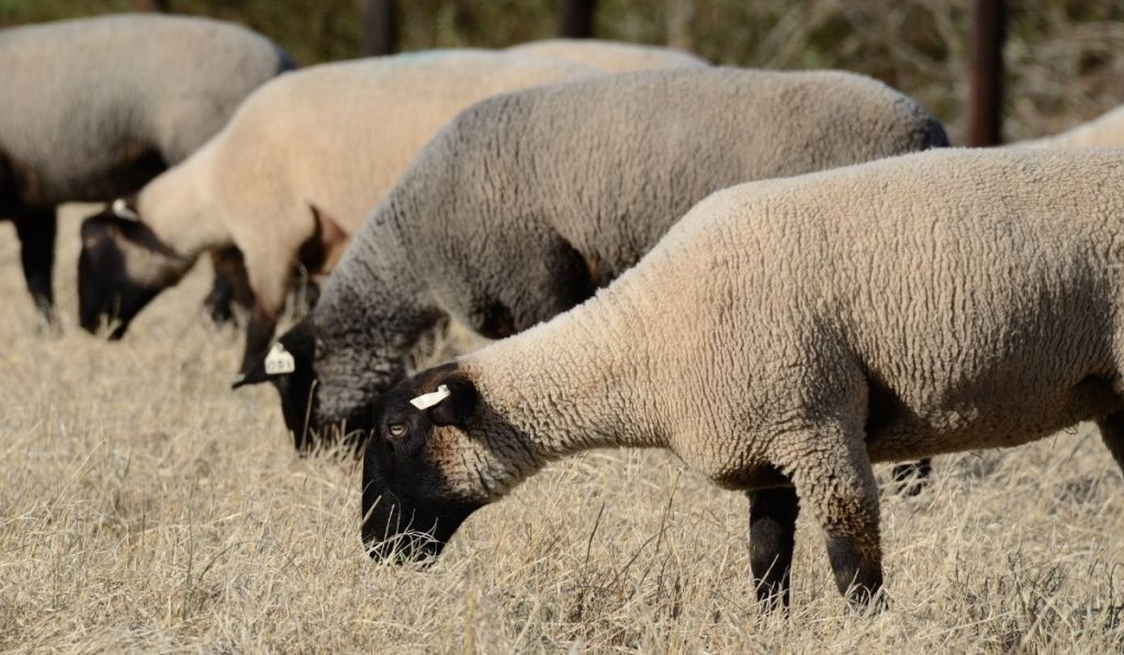 suffolk sheep grazing on the pasture