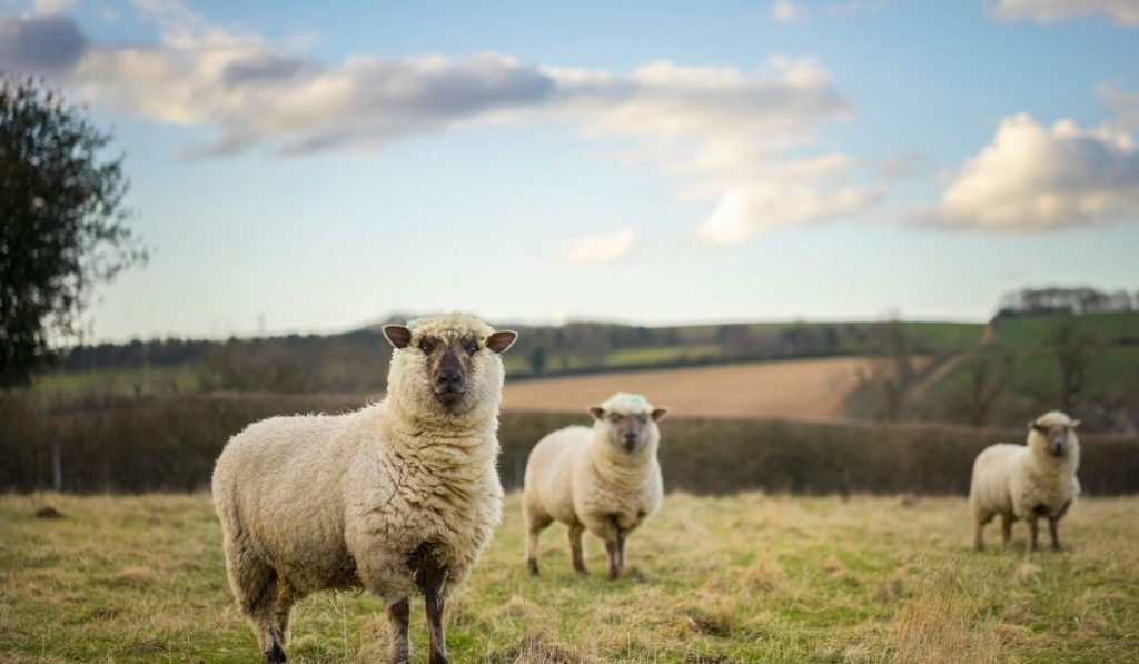 three cotswold sheep on a pasture