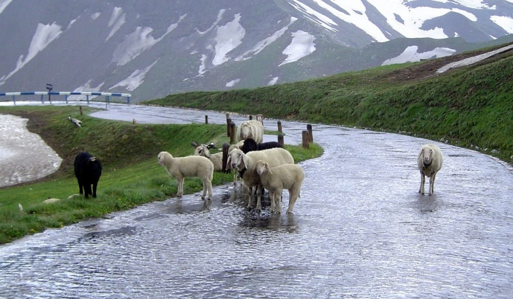 wet sheep on the street