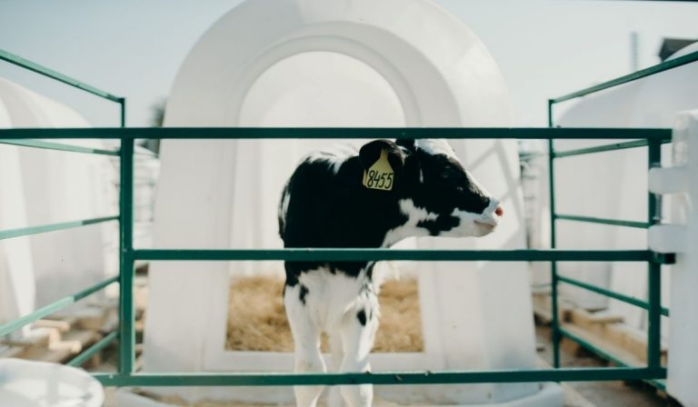 How Much Does a Baby Cow Cost?