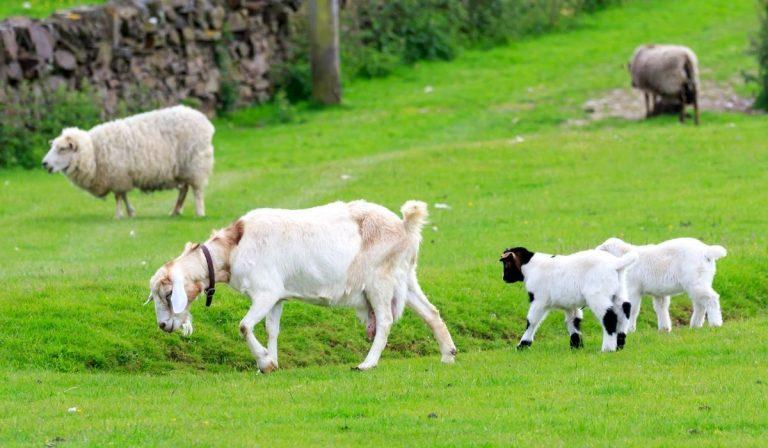 13 Beautiful White goat breeds