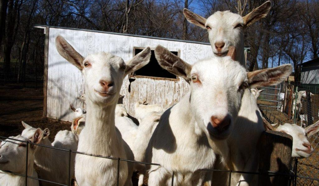 Dairy Goat Inside Pen