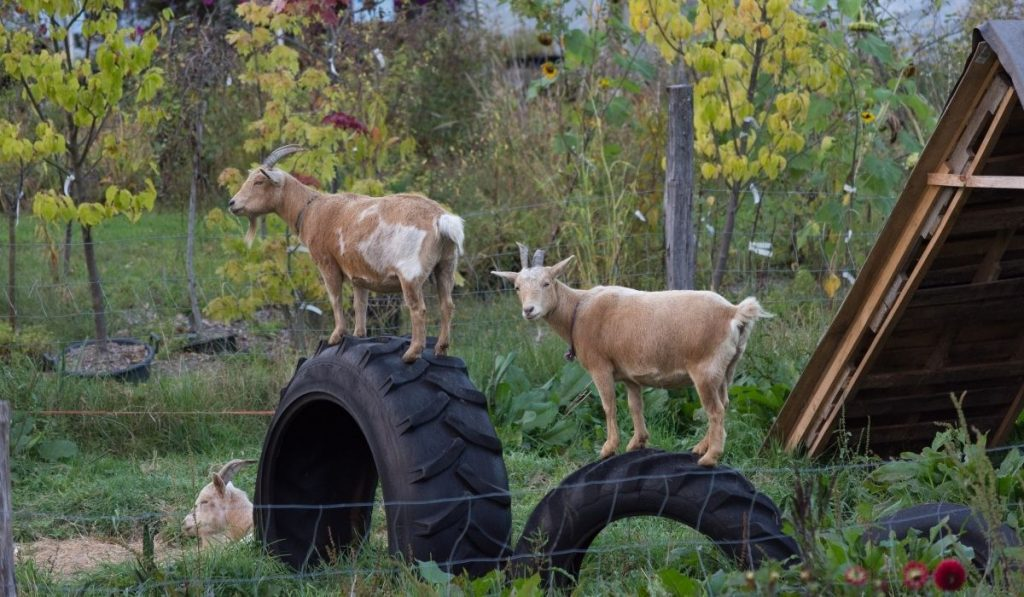 Dairy goat standing on tires