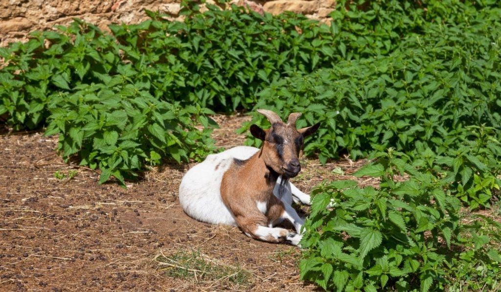 Goat Sitting in the Field