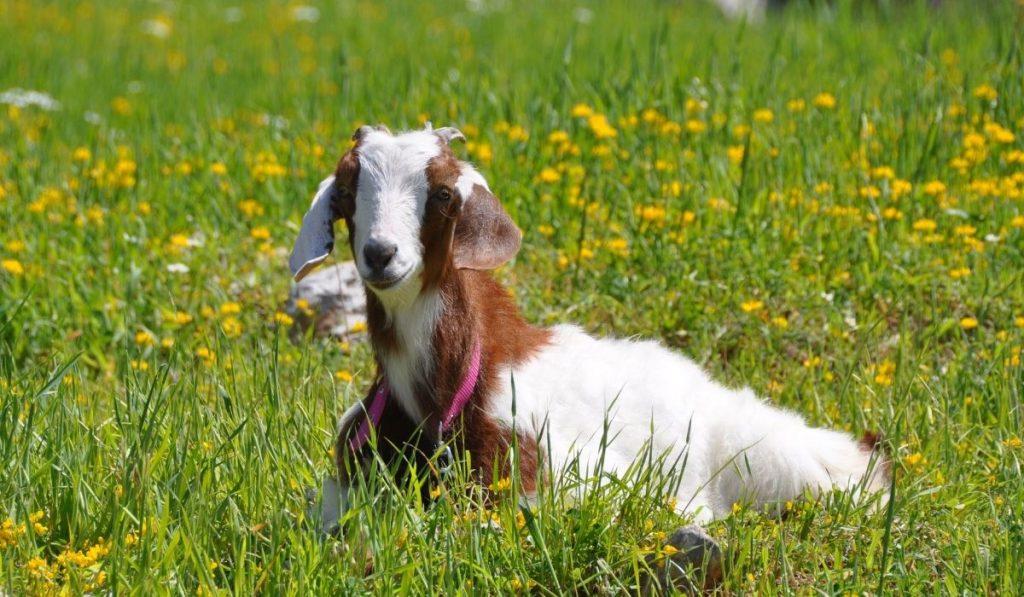 Goat Won't Stand