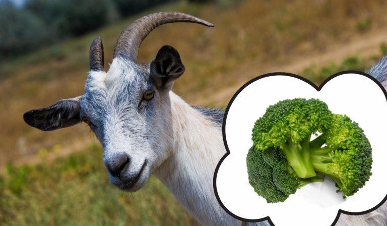 Can Goats Eat Broccoli?
