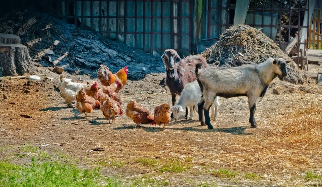 Goat and Chicken Eating