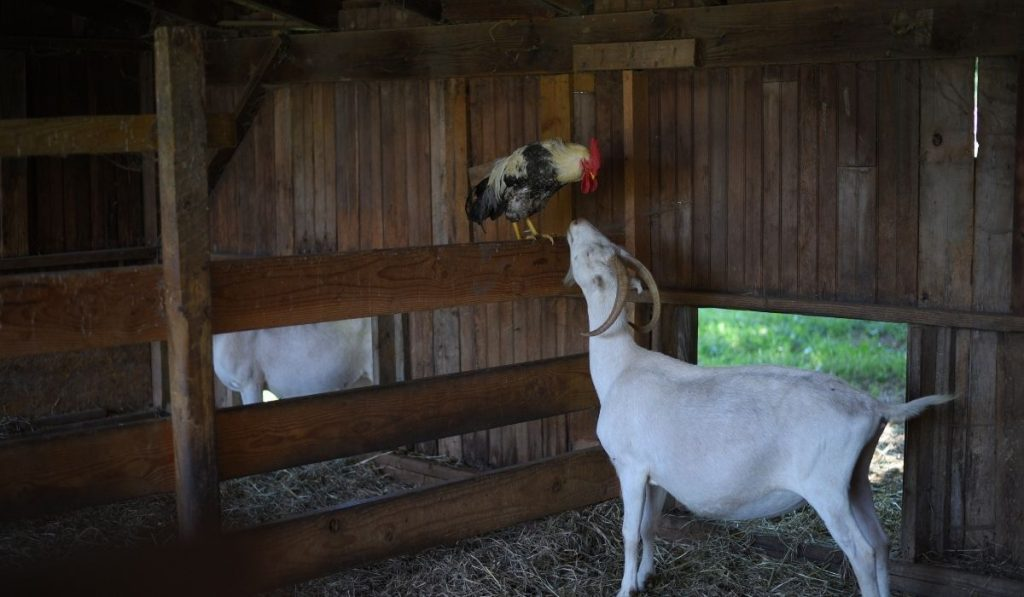 Goat and Chicken in the Barn