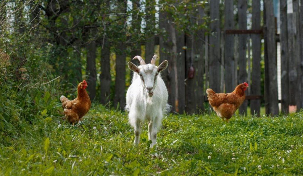 Goat and Chicken in the Farm