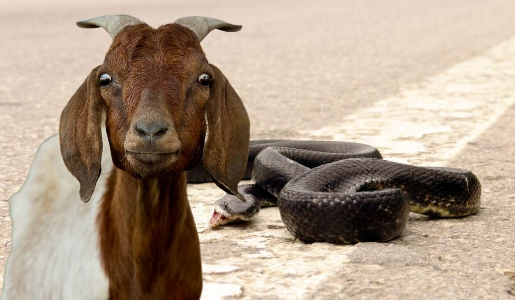 Goat and Snake