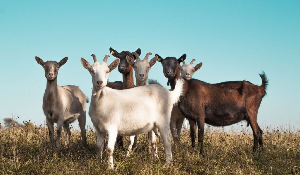 Group of Goat In the Field