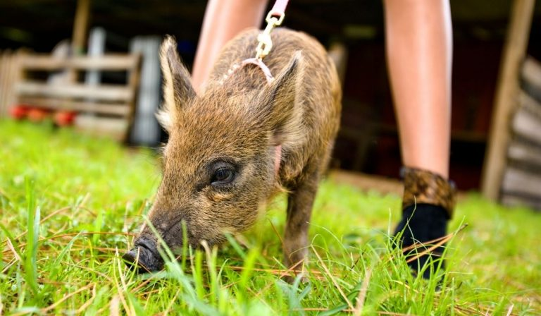 The 9 Best Pig Breeds for Pets