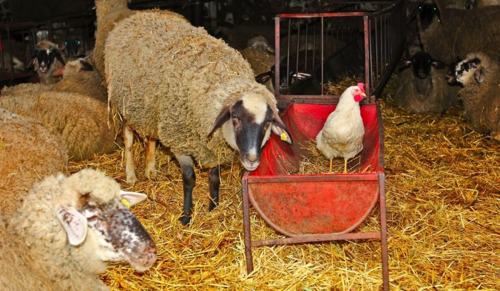 Sheep and Chicken Farm