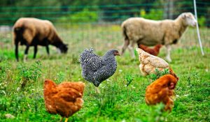 Sheep-and-Chicken-In-The-Farm