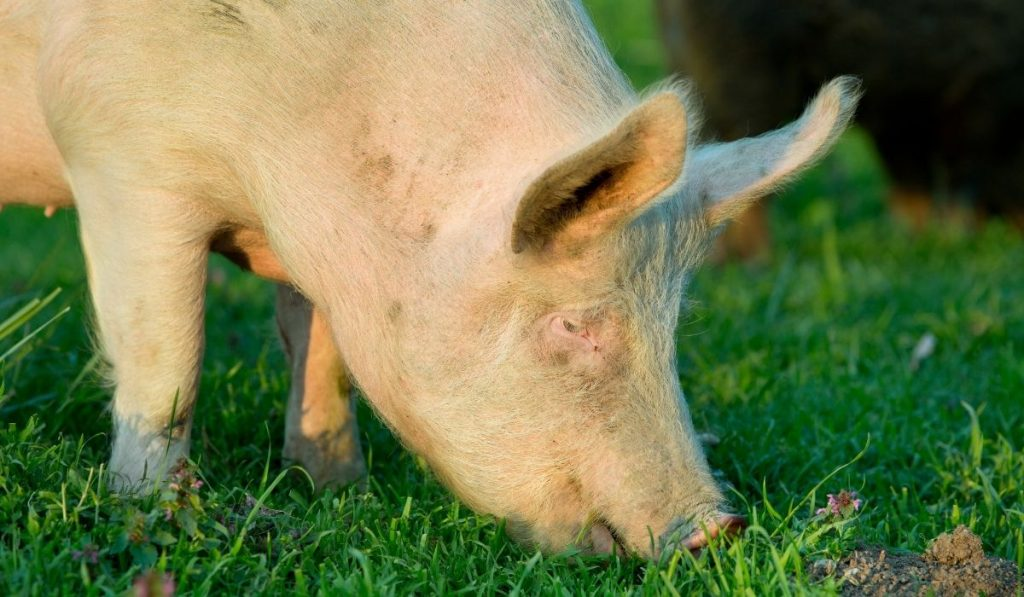 The American Yorkshire Pig