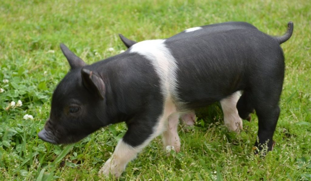 The Hampshire Pig