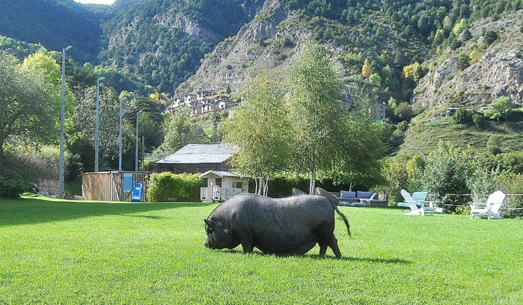 The Pot Bellied Pig