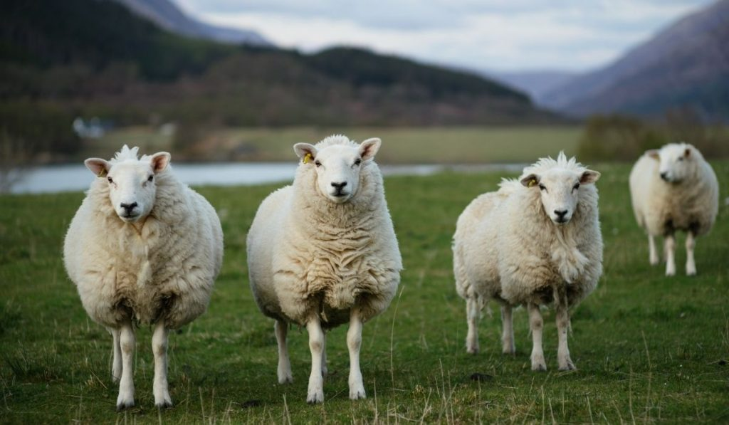 Three Sheep in the field