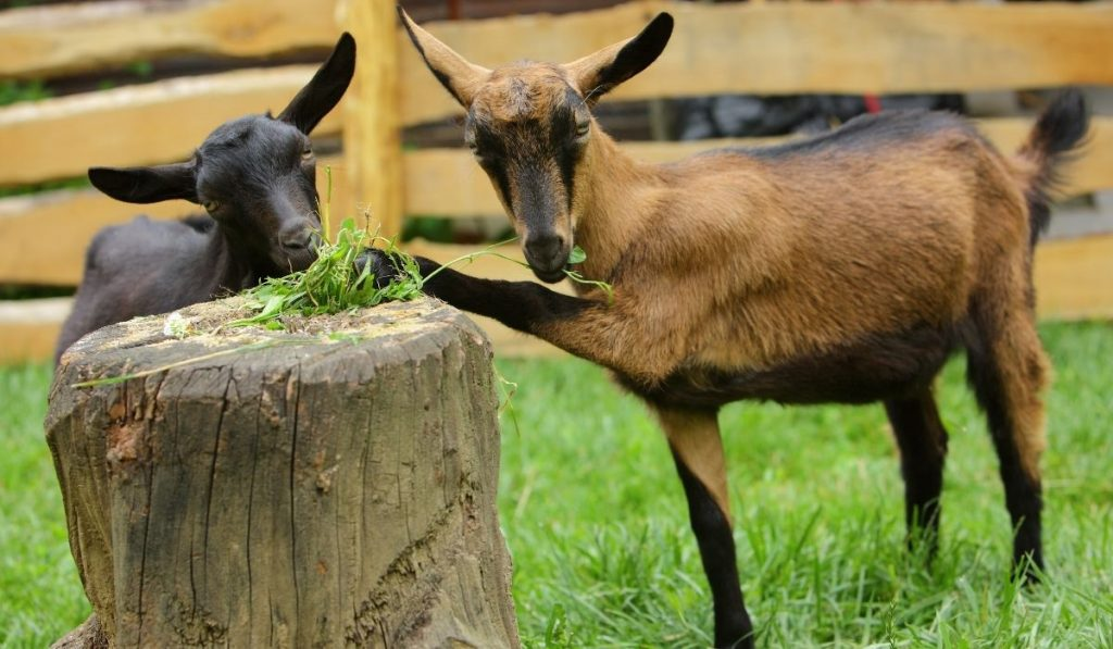 Two Goat Eating Grass