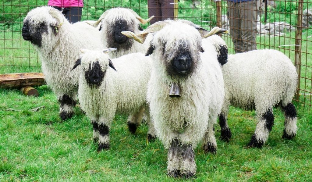 Valais Blacknose Sheep Breed in a cage