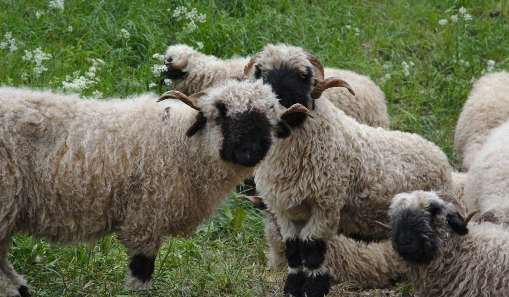 Valais Blacknose Sheep Breed in the field