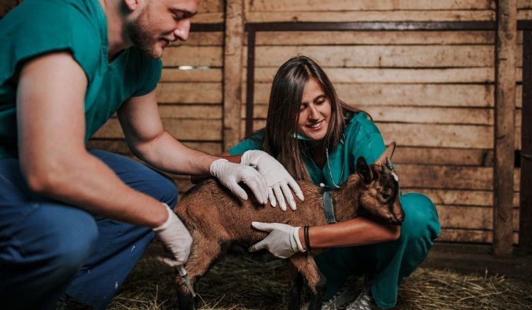 11 Important Things to Do When Your Goat Won't Stand