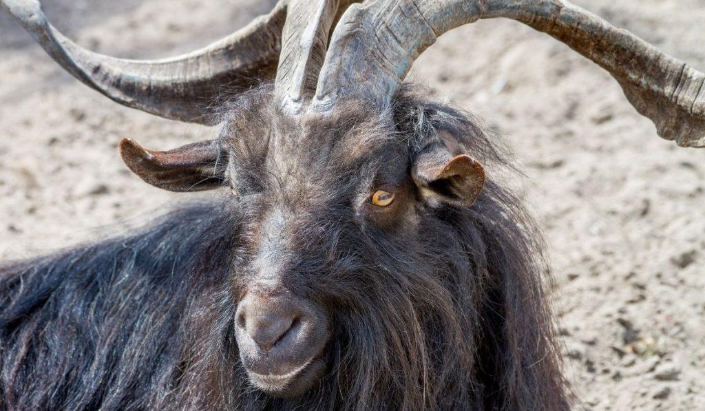 black goat with big horns