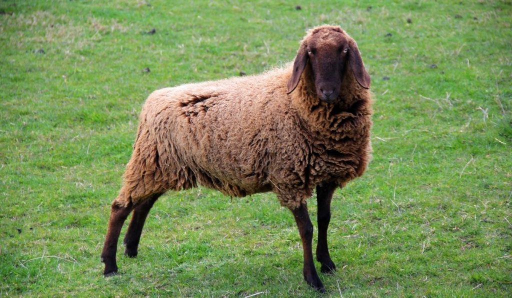 brown sheep standing on field