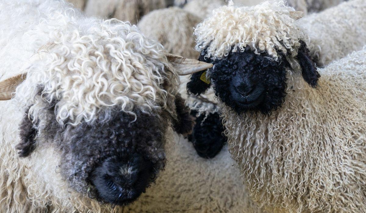 close up photo of two Valais Blacknose Sheep Breed