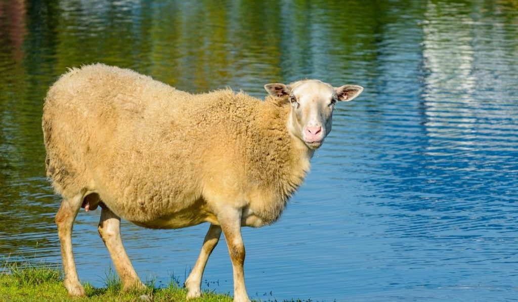 cream sheep by the water